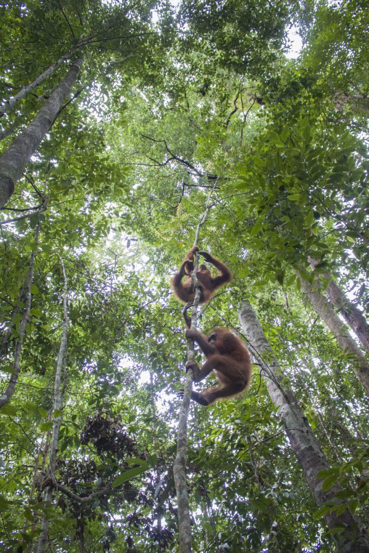 Orangutan no sabe lo que le espera 16