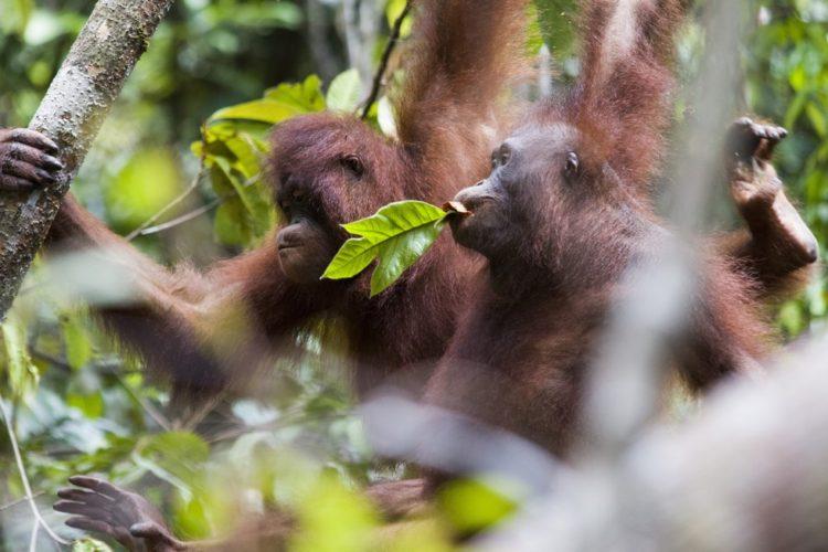 Orangutan no sabe lo que le espera 17