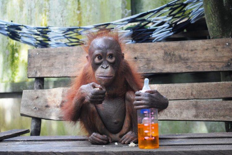 Orangutan no sabe lo que le espera 2