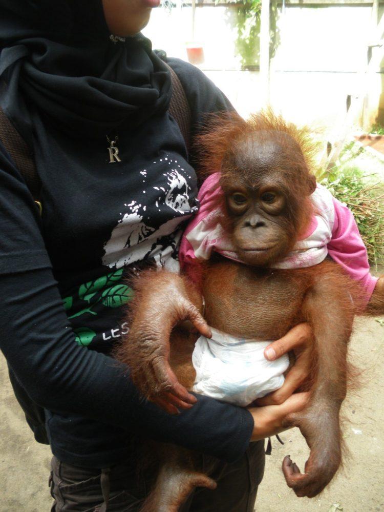 Orangutan no sabe lo que le espera 3