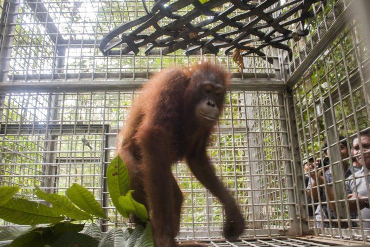 Orangutan no sabe lo que le espera 4