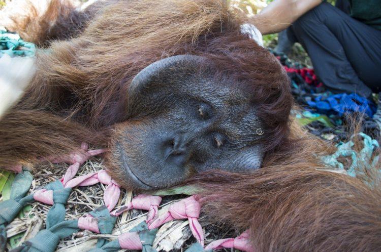 Orangutan no sabe lo que le espera 5