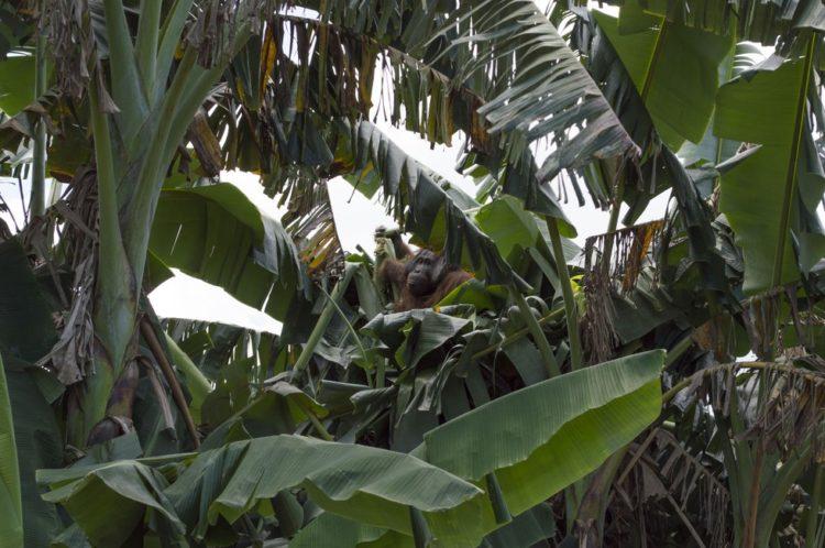 Orangutan no sabe lo que le espera 6