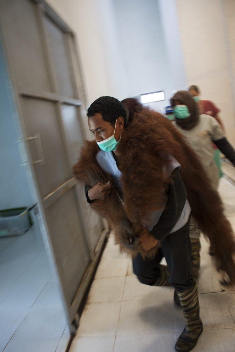 Orangutan no sabe lo que le espera 8