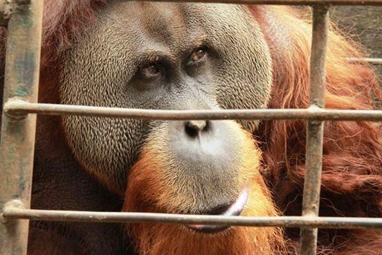 Orangutan y jaula minúscula 2