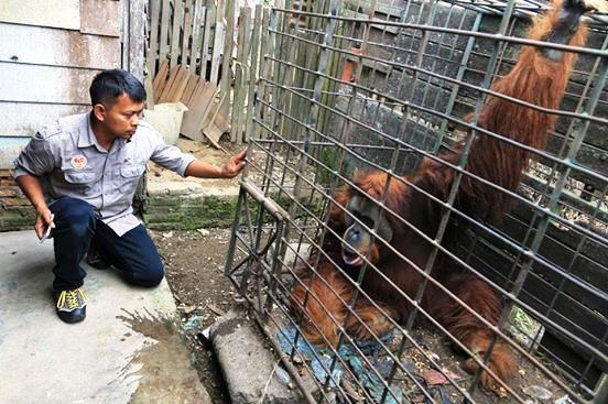 Orangutan y jaula minúscula 3