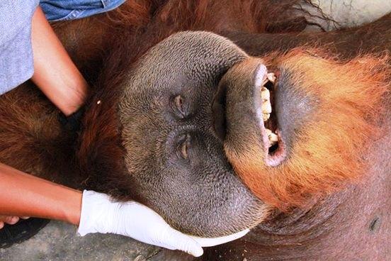 Orangutan y jaula minúscula 5