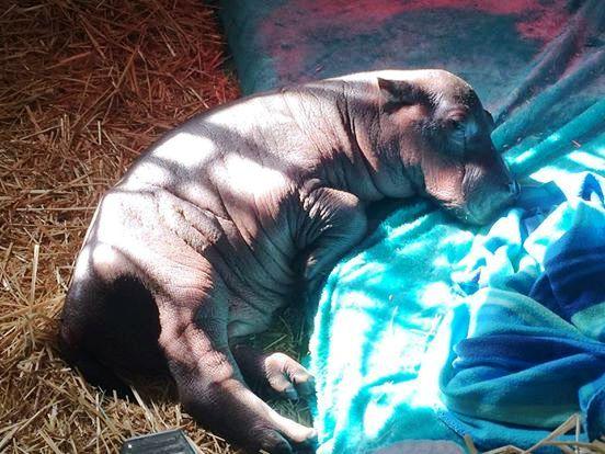 Pequeño Hipopotamo abandonado 2