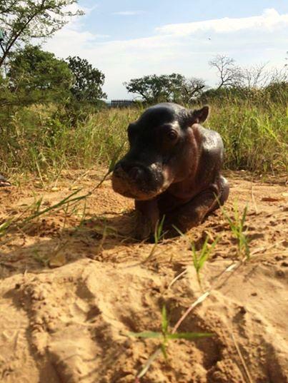 Pequeño Hipopotamo abandonado 6