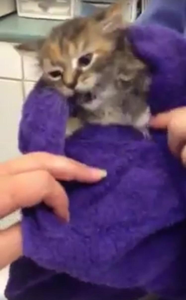 Pequeño gatito casi muere debido collar para pulgas 3
