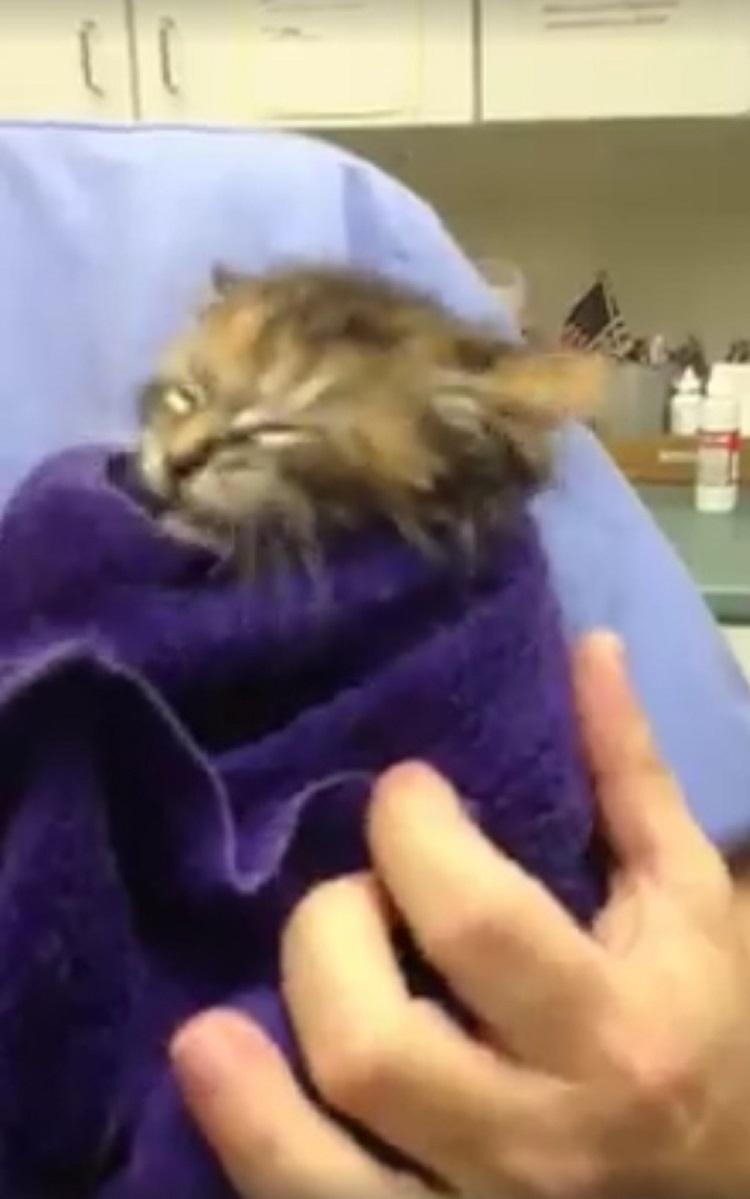 Pequeño gatito casi muere debido collar para pulgas 4