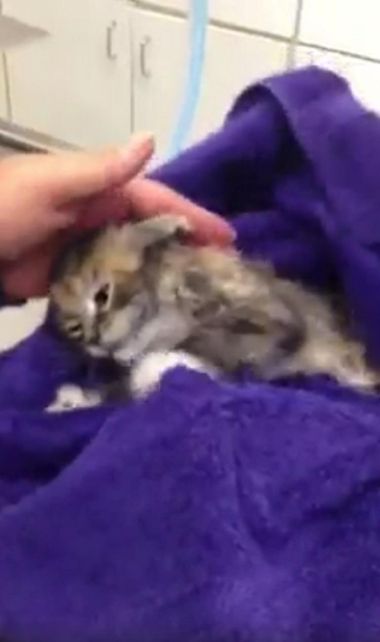 Pequeño gatito casi muere debido collar para pulgas 5