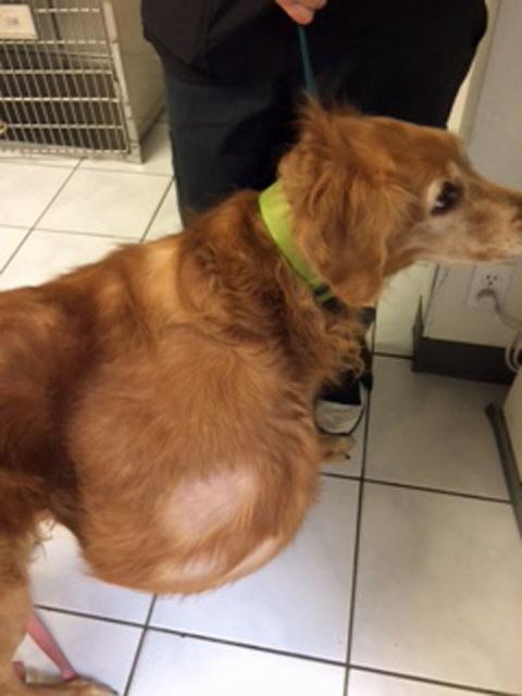 Perro abandonado en la playa con tumor gigante rescatado 4