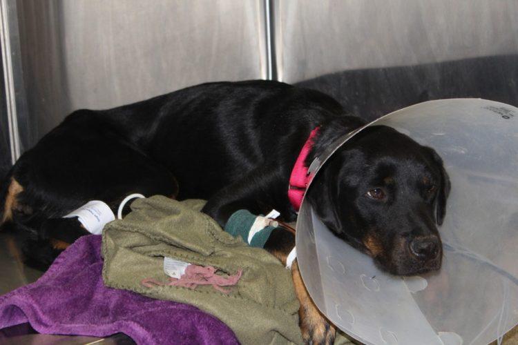Perro recibe trasnfusion de sangre 1
