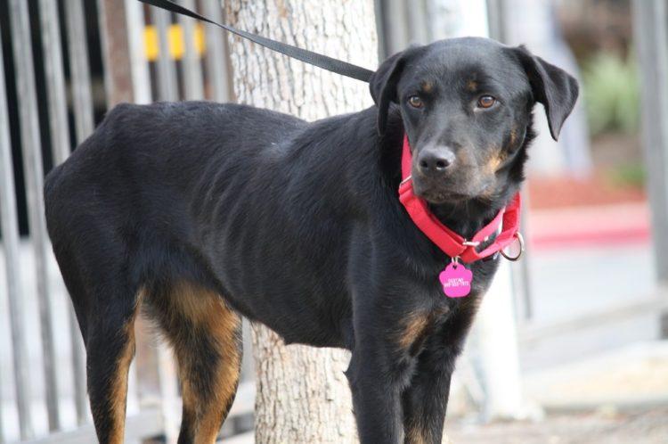 Perro recibe trasnfusion de sangre 2