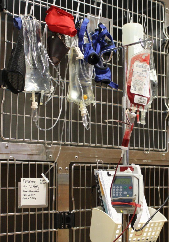 Perro recibe trasnfusion de sangre 4
