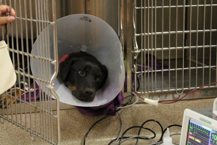 Perro recibe trasnfusion de sangre 5