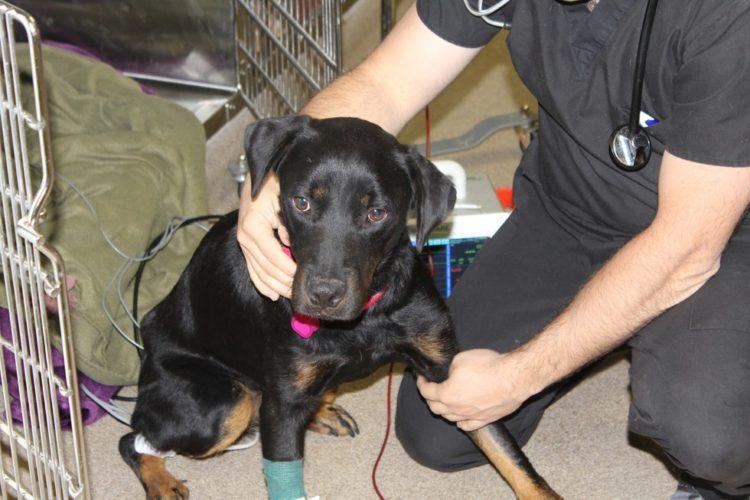 Perro recibe trasnfusion de sangre 6