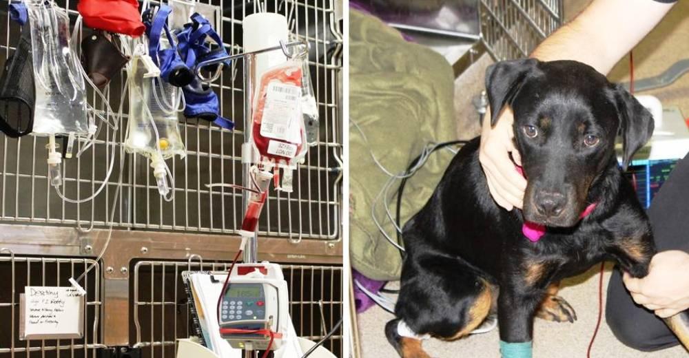 Perro recibe trasnfusion de sangre portada