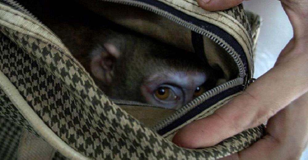 Portada Triste sorpresa descubren mono dentro de bolso abandonado centro rescate
