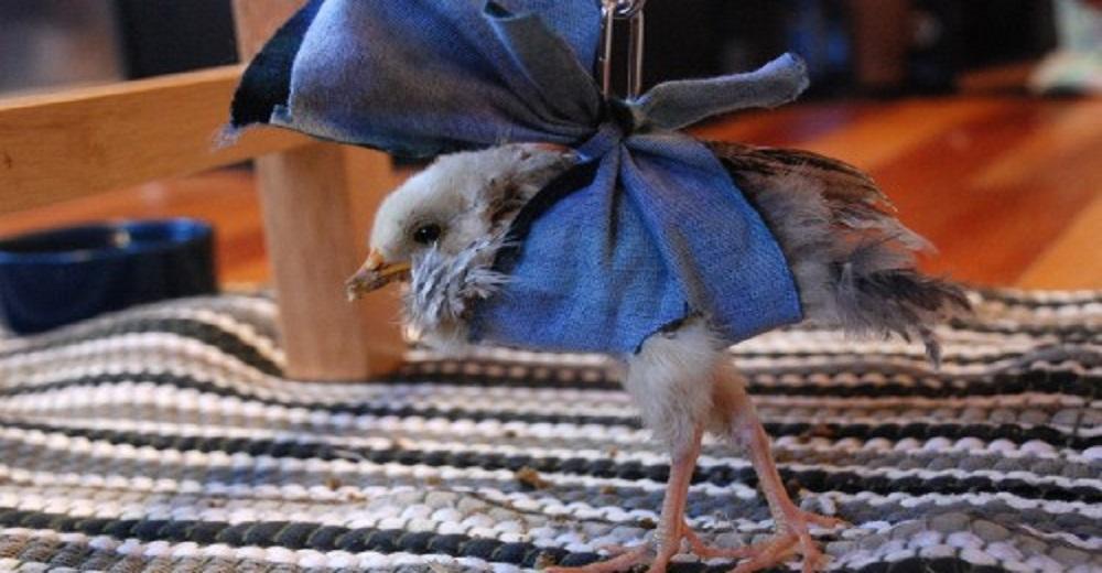 Portada tierno polluelo recibe oportunidad de vivir