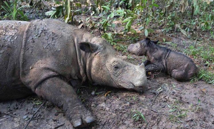 Rinoceronte dio a luz una niña 1
