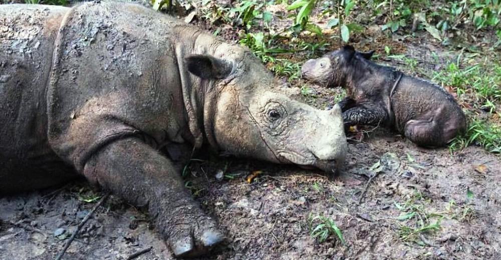 Rinoceronte dio a luz una niña portada