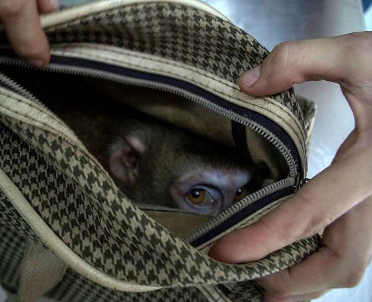 Triste sorpresa descubren mono dentro de bolso abandonado centro rescate 1
