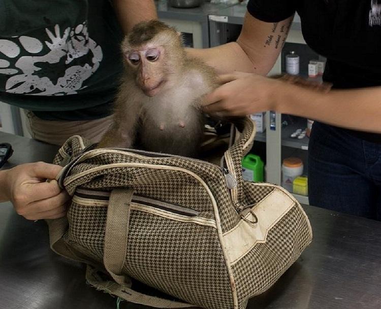 Triste sorpresa descubren mono dentro de bolso abandonado centro rescate 3
