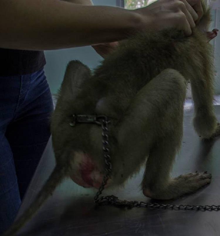 Triste sorpresa descubren mono dentro de bolso abandonado centro rescate 4