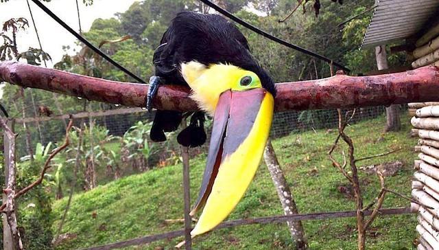 Tucan rescatado de Costa Rica 1