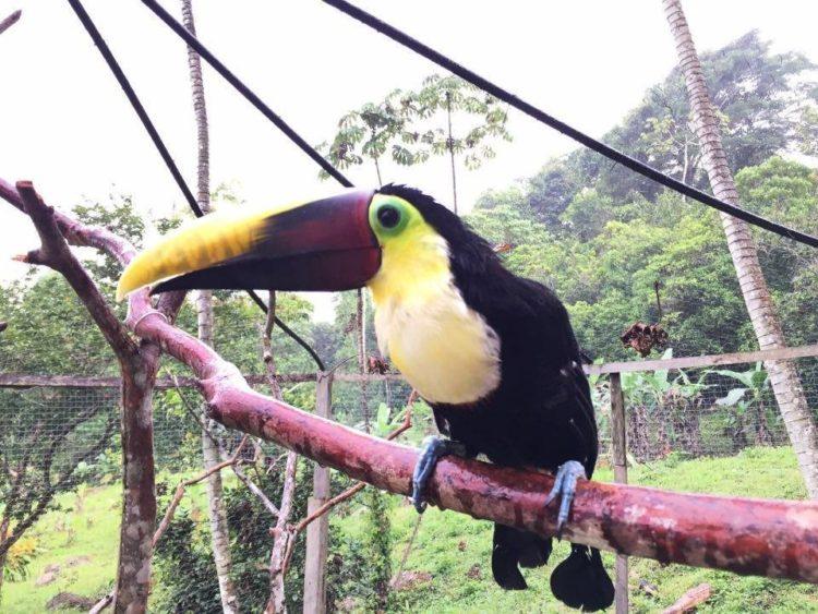 Tucan rescatado de Costa Rica 4
