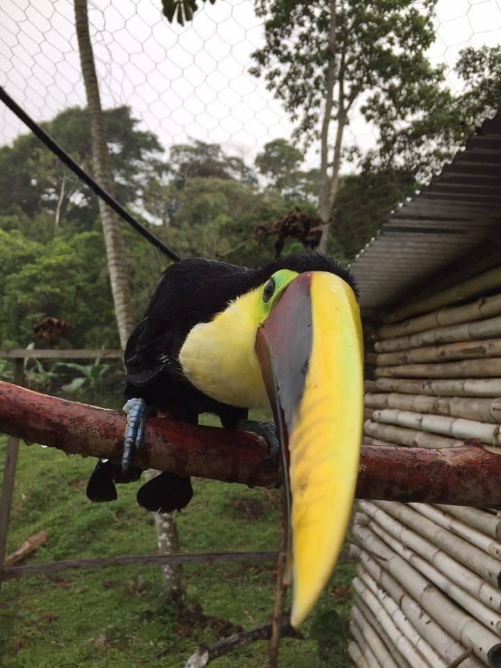Tucan rescatado de Costa Rica 5