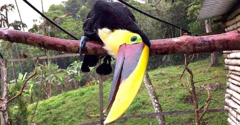 Tucan rescatado de Costa Rica portada