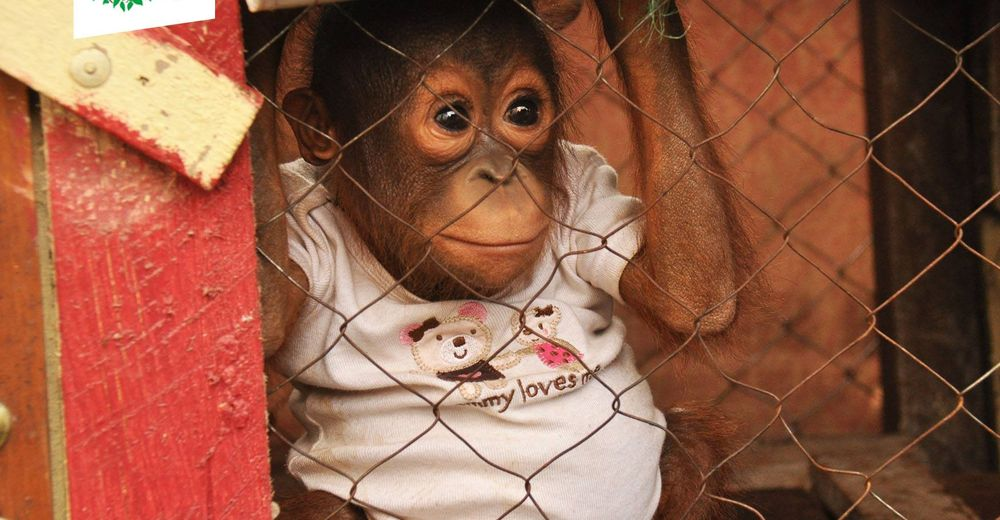 bebe-orangutan-jaula