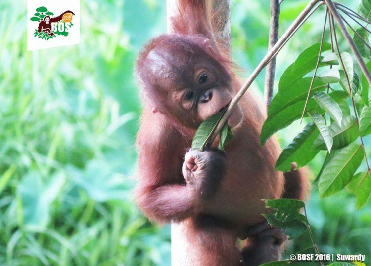 bebe-orangutan-jaula3