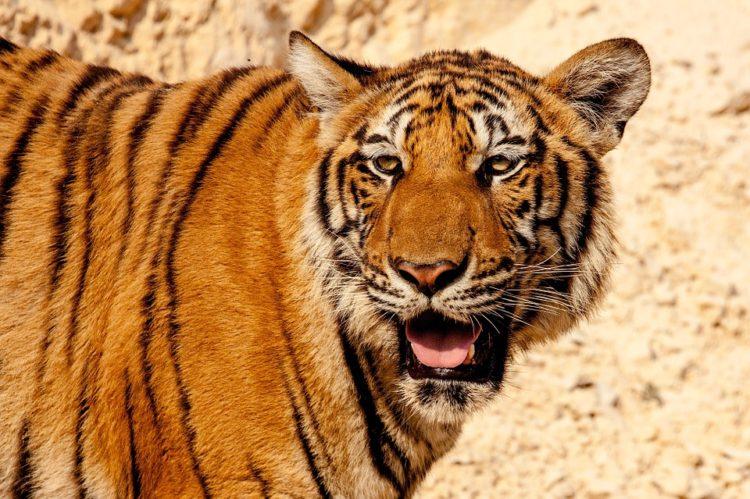 comercio-ilegal-tigres3