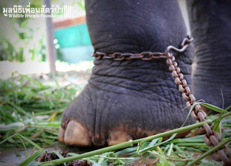 elefante-obligado-trabajar7