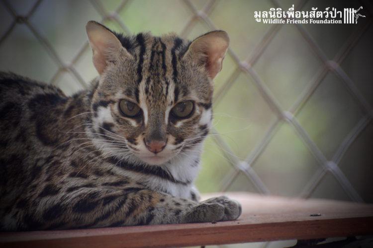 gato-leopardo-mascota1