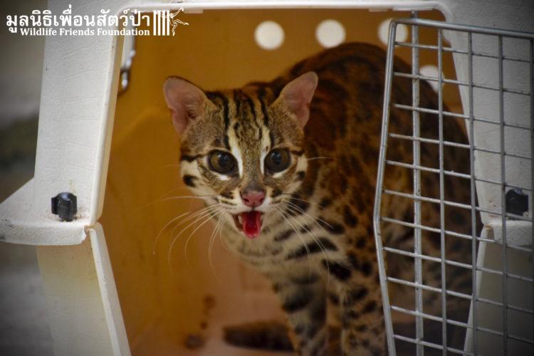 gato-leopardo-mascota2