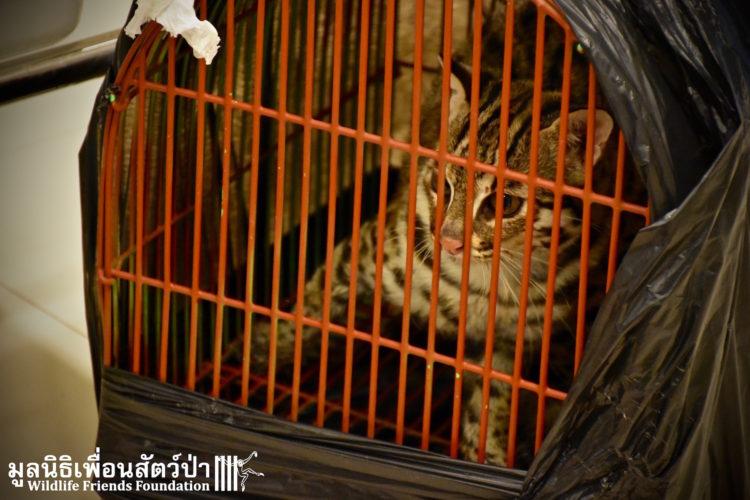 gato-leopardo-mascota6