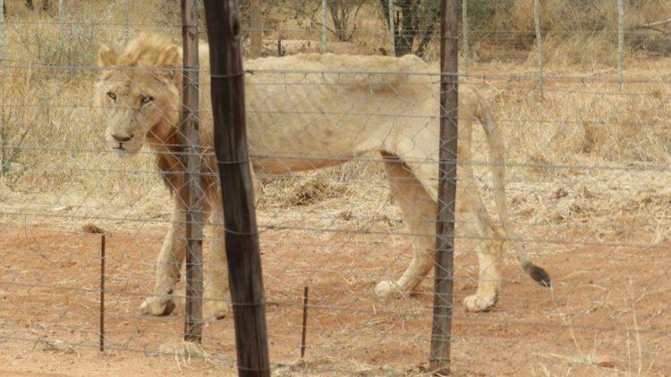 leones-cautiverio1