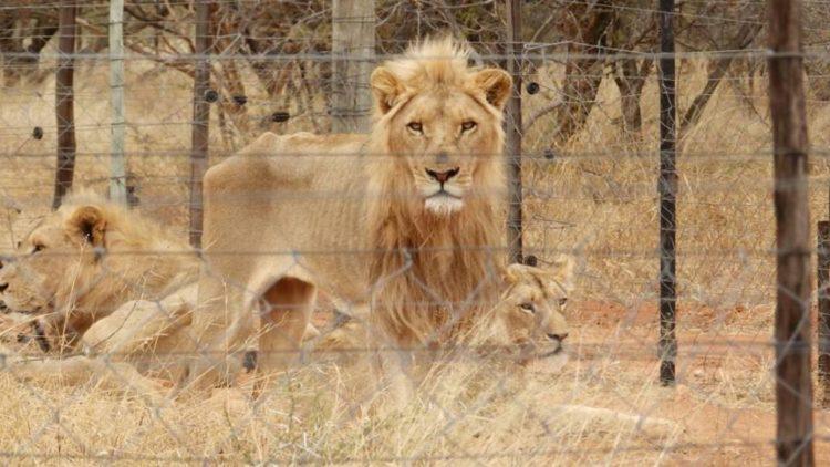 leones-cautiverio2