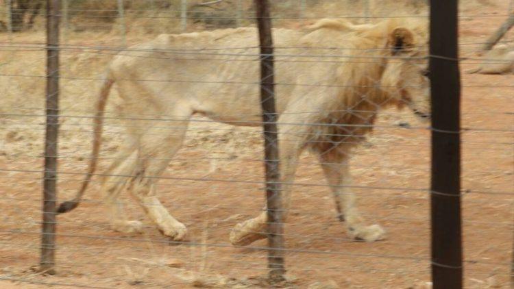 leones-cautiverio3