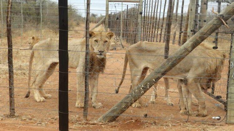 leones-cautiverio4