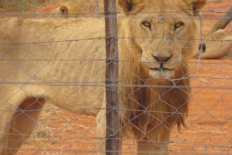 leones-cautiverio5