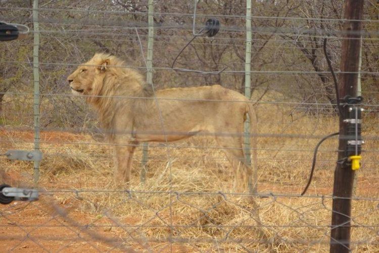 leones-cautiverio6