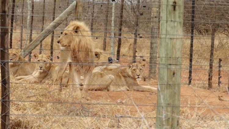 leones-cautiverio7