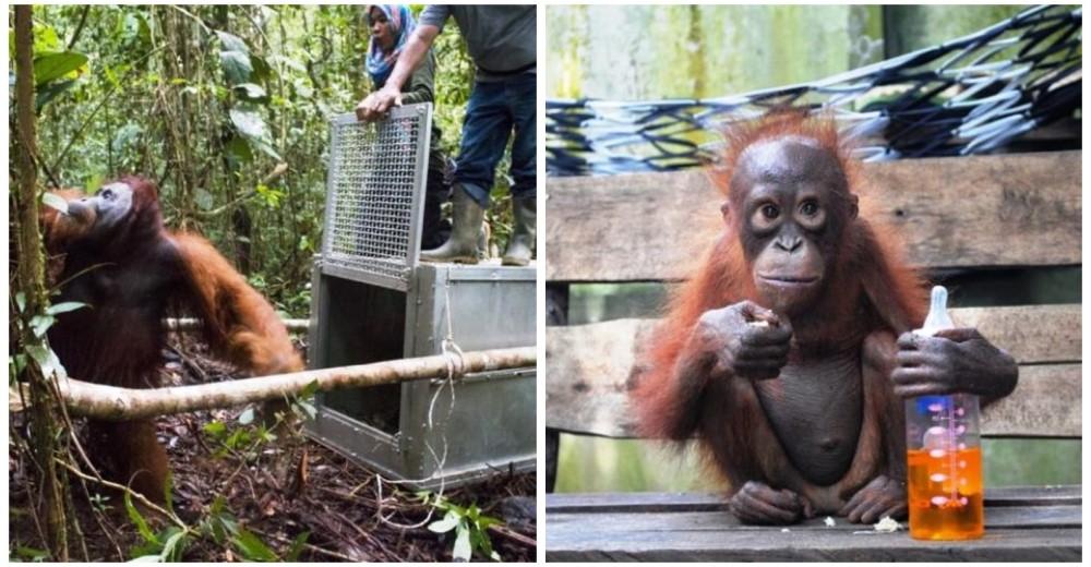 monos-devueltos-a-su-habitat-orangutanes