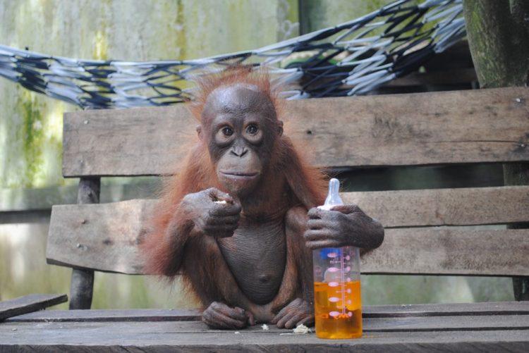 orangutanes-vida-salvaje2